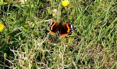 דייט עם פרפרים וספירת הפרפרים הגדולה